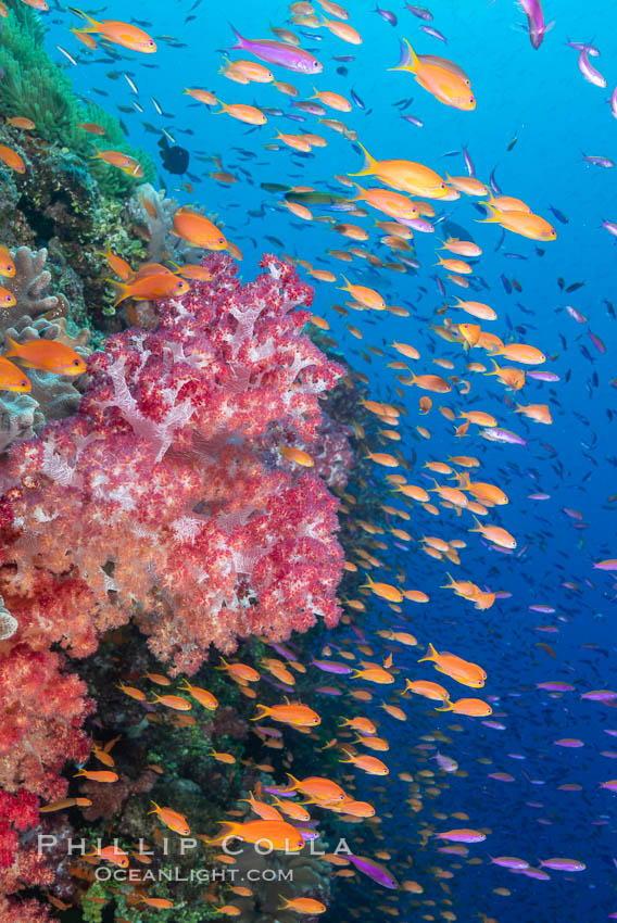 Brilliantlly colorful coral reef, with swarms of anthias fishes and soft corals, Fiji. Bligh Waters, Dendronephthya, Pseudanthias, natural history stock photograph, photo id 34795