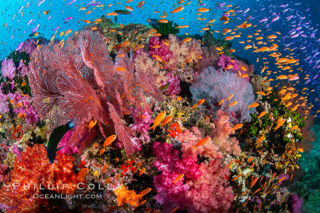 Brilliantlly colorful coral reef, with swarms of anthias fishes and soft corals, Fiji. Vatu I Ra Passage, Bligh Waters, Viti Levu Island, Fiji, Dendronephthya, Pseudanthias, natural history stock photograph, photo id 34871