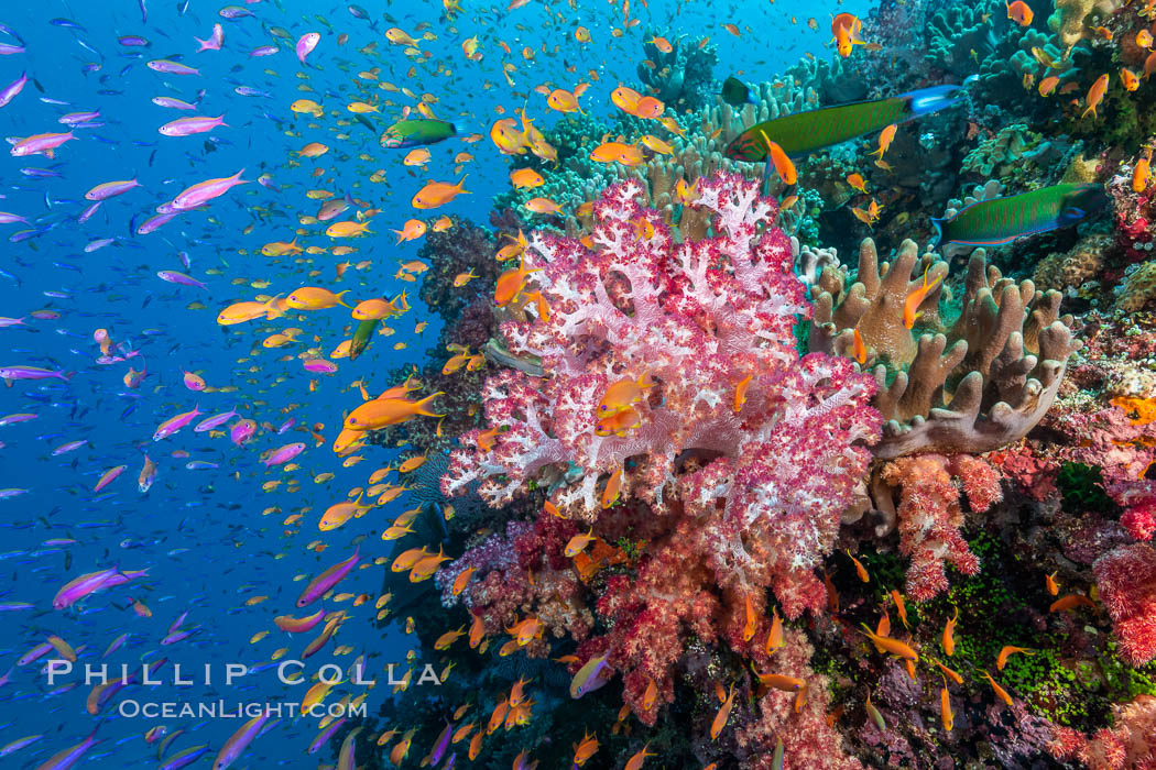 Brilliantlly colorful coral reef, with swarms of anthias fishes and soft corals, Fiji. Bligh Waters, Fiji, Dendronephthya, Pseudanthias, natural history stock photograph, photo id 34817