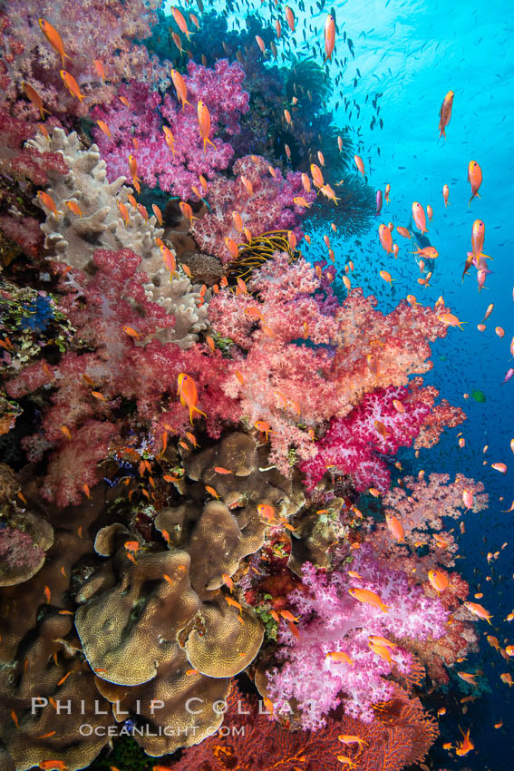 Brilliantlly colorful coral reef, with swarms of anthias fishes and soft corals, Fiji. Fiji, Dendronephthya, Pseudanthias, natural history stock photograph, photo id 34825