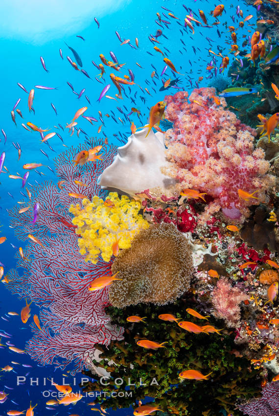 Brilliantlly colorful coral reef, with swarms of anthias fishes and soft corals, Fiji. Bligh Waters, Dendronephthya, Pseudanthias, natural history stock photograph, photo id 34837