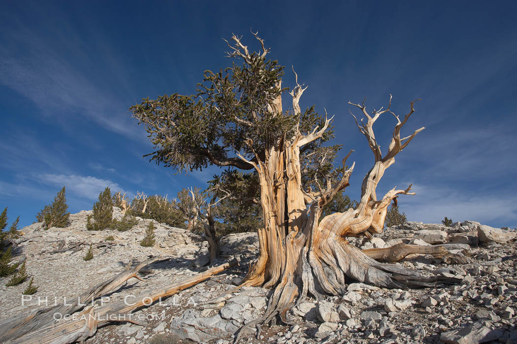 Bristlecone pine rising above the arid, dolomite-rich slopes of the White Mountains at 11000-foot elevation. Patriarch Grove, Ancient Bristlecone Pine Forest. White Mountains, Inyo National Forest, California, USA, Pinus longaeva, natural history stock photograph, photo id 17491