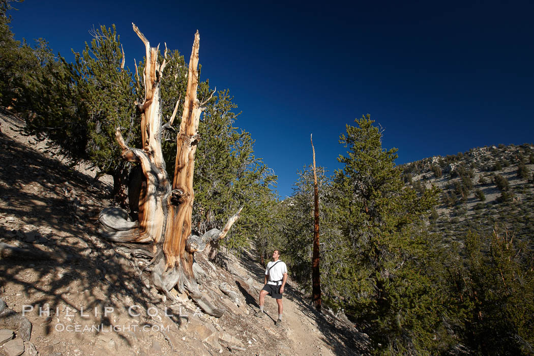 A hiker admires an ancient bristlecone pine tree, on the Methuselah Walk in the Schulman Grove in the White Mountains at an elevation of 9500 above sea level.  The oldest bristlecone pines in the world are found in the Schulman Grove, some of them over 4700 years old. Ancient Bristlecone Pine Forest. White Mountains, Inyo National Forest, California, USA, Pinus longaeva, natural history stock photograph, photo id 23239
