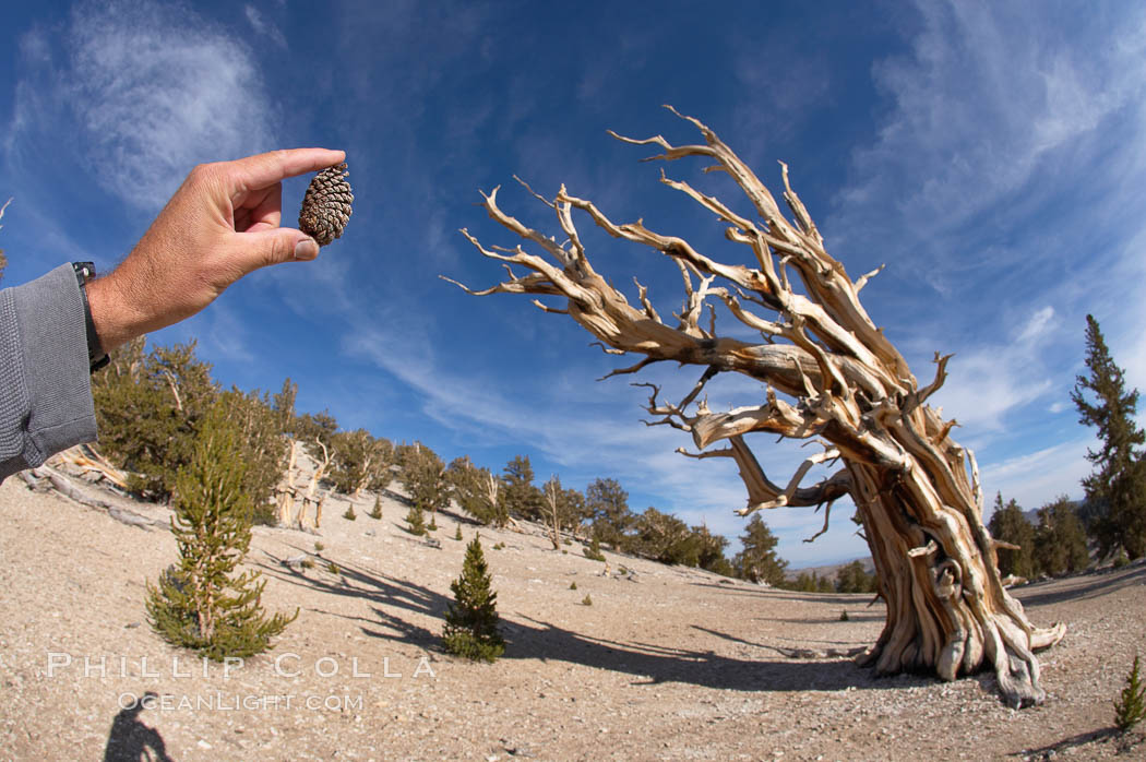 Bristlecone pine tree cone. Patriarch Grove, Ancient Bristlecone Pine Forest. White Mountains, Inyo National Forest, California, USA, Pinus longaeva, natural history stock photograph, photo id 17480