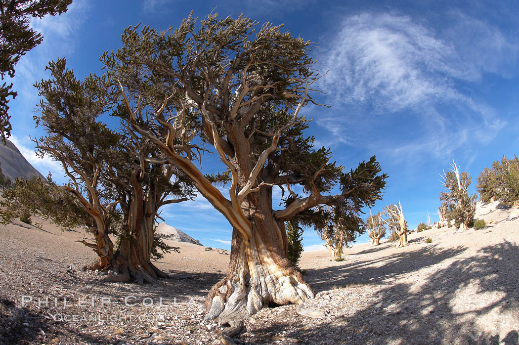 Bristlecone pines rising above the arid, dolomite-rich slopes of the White Mountains at 11000-foot elevation. Patriarch Grove, Ancient Bristlecone Pine Forest. White Mountains, Inyo National Forest, California, USA, Pinus longaeva, natural history stock photograph, photo id 17489