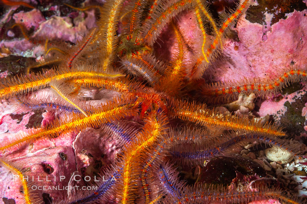 Brittle sea stars (starfish) spread across the rocky reef in dense numbers. Santa Barbara Island, California, USA, Ophiothrix spiculata, natural history stock photograph, photo id 10156