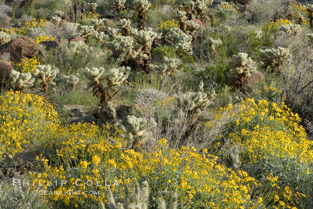 Brittlebush and various cacti and wildflowers color the sides of Glorietta Canyon.  Heavy winter rains led to a historic springtime bloom in 2005, carpeting the entire desert in vegetation and color for months. Anza-Borrego Desert State Park, Borrego Springs, California, USA, Encelia farinosa, natural history stock photograph, photo id 10926
