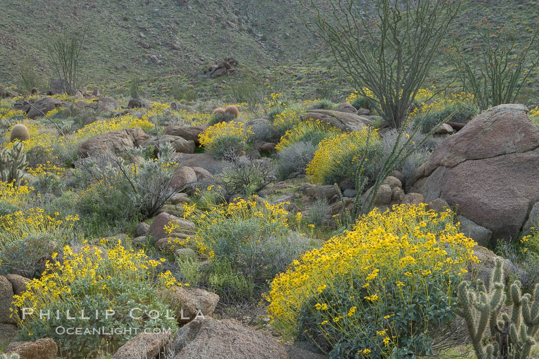 Brittlebush and various cacti and wildflowers color the sides of Glorietta Canyon.  Heavy winter rains led to a historic springtime bloom in 2005, carpeting the entire desert in vegetation and color for months. Anza-Borrego Desert State Park, Borrego Springs, California, USA, Encelia farinosa, natural history stock photograph, photo id 10958