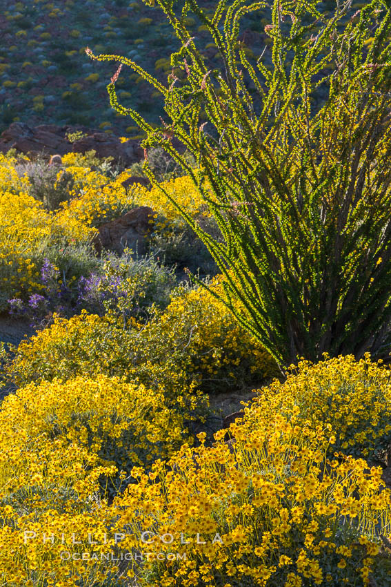 Brittlebush bloom in Anza Borrego Desert State Park, during the 2017 Superbloom. Anza-Borrego Desert State Park, Borrego Springs, California, USA, natural history stock photograph, photo id 33198