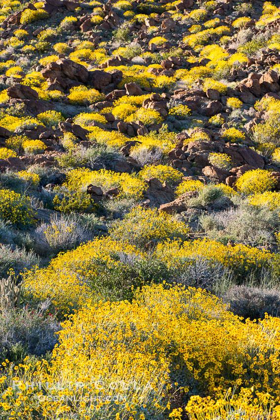 Brittlebush bloom in Anza Borrego Desert State Park, during the 2017 Superbloom. Anza-Borrego Desert State Park, Borrego Springs, California, USA, natural history stock photograph, photo id 33200