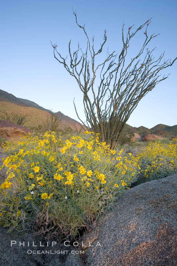 Image 10891, Brittlebush, ocotillo and various cacti and wildflowers color the sides of Glorietta Canyon.  Heavy winter rains led to a historic springtime bloom in 2005, carpeting the entire desert in thick vegetation and spectacular color for months. Anza-Borrego Desert State Park, Borrego Springs, California, USA, Encelia farinosa, Fouquieria splendens, Phillip Colla, all rights reserved worldwide. Keywords: anza borrego, anza borrego desert state park, anza-borrego desert state park, brittlebrush, brittlebush, california, desert, desert wildflower, encelia farinosa, fouquieria splendens, landscape, nature, ocotillo, outdoors, outside, plant, scene, scenic, state parks, usa, wildflower.
