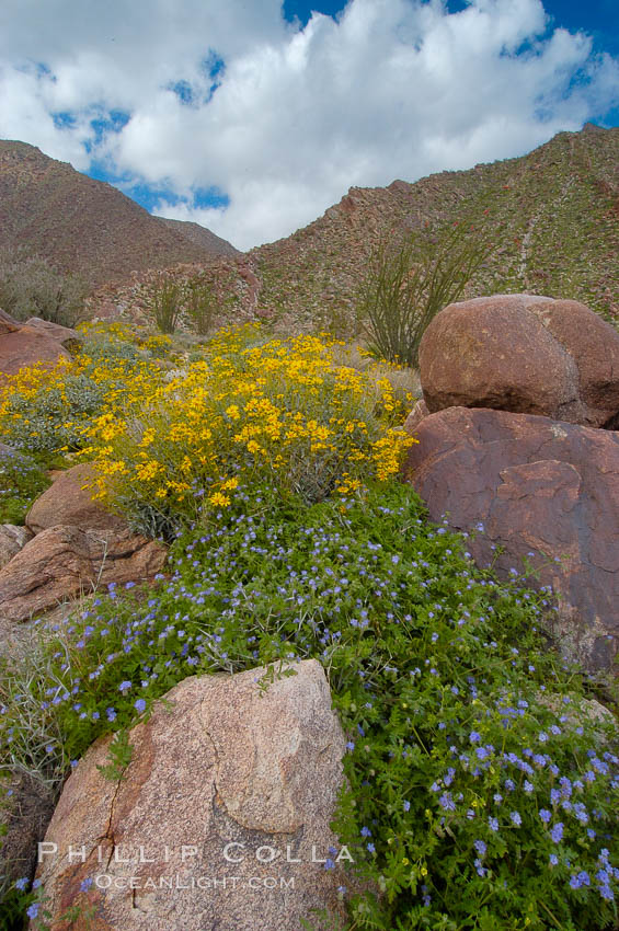Image 10465, Brittlebush (yellow) and wild heliotrope (blue) bloom in spring, Palm Canyon. Anza-Borrego Desert State Park, Borrego Springs, California, USA, Encelia farinosa, Phacelia distans, Phillip Colla, all rights reserved worldwide. Keywords: anza borrego, anza borrego desert state park, anza-borrego desert state park, brittlebrush, brittlebush, california, desert, desert wildflower, encelia farinosa, landscape, nature, outdoors, outside, phacelia distans, plant, scene, scenic, state parks, usa, wildflower.