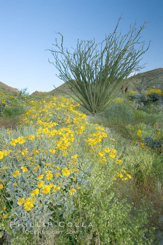 Image 10898, Brittlebush, ocotillo and various cacti and wildflowers color the sides of Glorietta Canyon.  Heavy winter rains led to a historic springtime bloom in 2005, carpeting the entire desert in vegetation and color for months. Anza-Borrego Desert State Park, Borrego Springs, California, USA, Encelia farinosa, Fouquieria splendens, Phillip Colla, all rights reserved worldwide. Keywords: anza borrego, anza borrego desert state park, anza-borrego desert state park, brittlebrush, brittlebush, california, desert, desert wildflower, encelia farinosa, fouquieria splendens, landscape, nature, ocotillo, outdoors, outside, plant, scene, scenic, state parks, usa, wildflower.