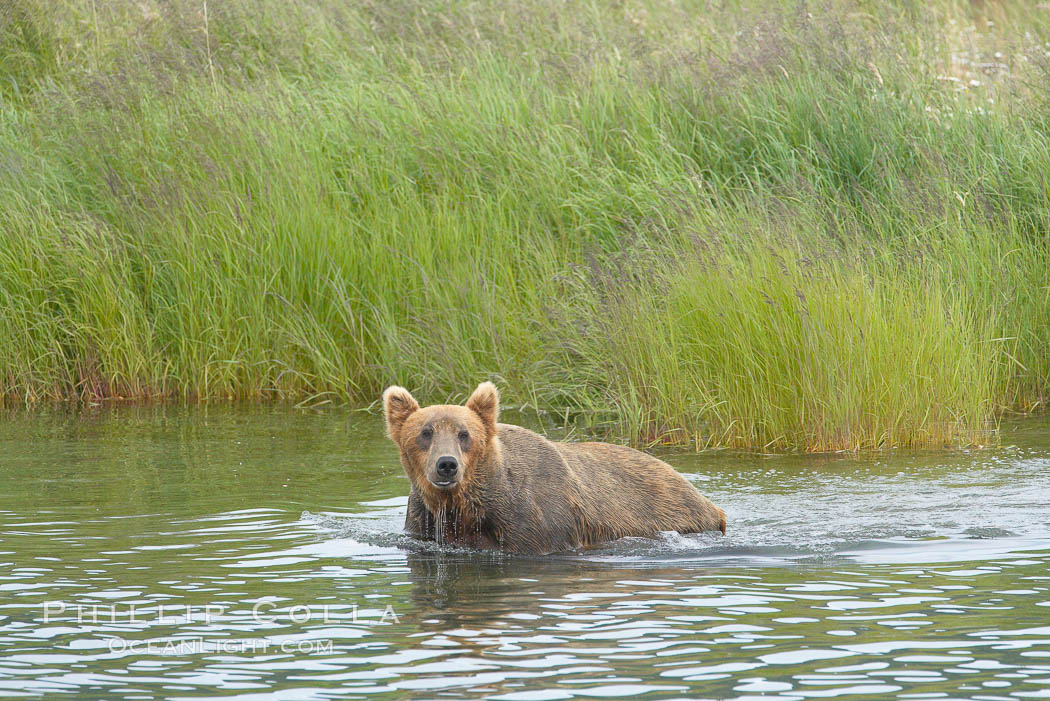 Brown bear walks through the marsh that edges Brooks River. Brooks River, Katmai National Park, Alaska, USA, Ursus arctos, natural history stock photograph, photo id 17198