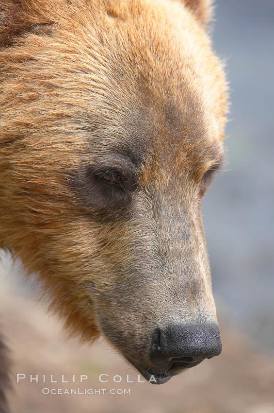 Brown bear head profile. Brooks River, Katmai National Park, Alaska, USA, Ursus arctos, natural history stock photograph, photo id 17258