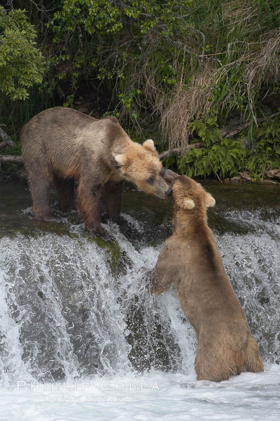 Brown bear (grizzly bear). Brooks River, Katmai National Park, Alaska, USA, Ursus arctos, natural history stock photograph, photo id 17082