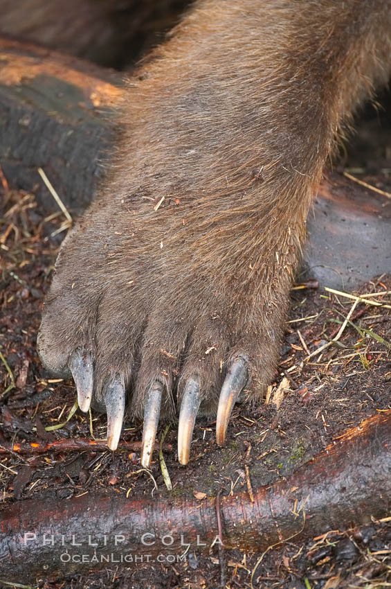 Brown bear paw and claws. Brooks River, Katmai National Park, Alaska, USA, Ursus arctos, natural history stock photograph, photo id 17104