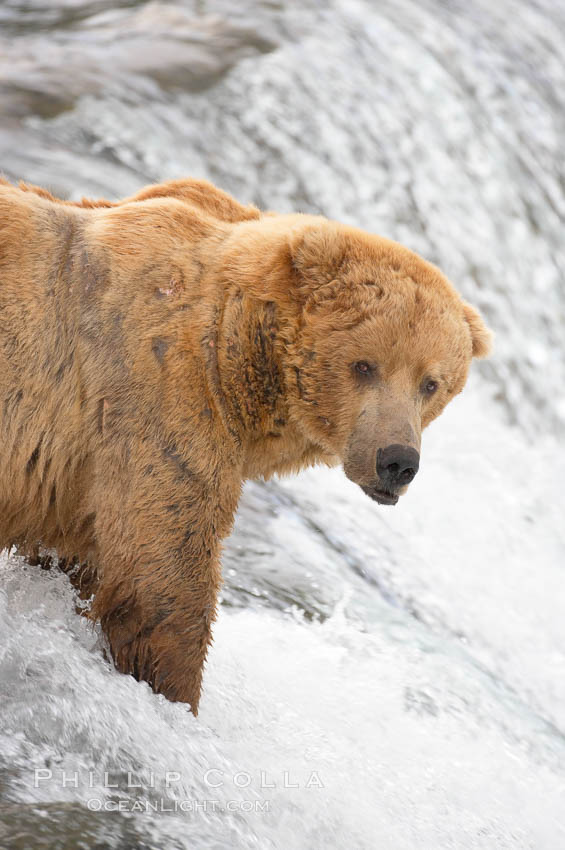 A large, old brown bear (grizzly bear) wades across Brooks River. Coastal and near-coastal brown bears in Alaska can live to 25 years of age, weigh up to 1400 lbs and stand over 9 feet tall. Katmai National Park, USA, Ursus arctos, natural history stock photograph, photo id 17083