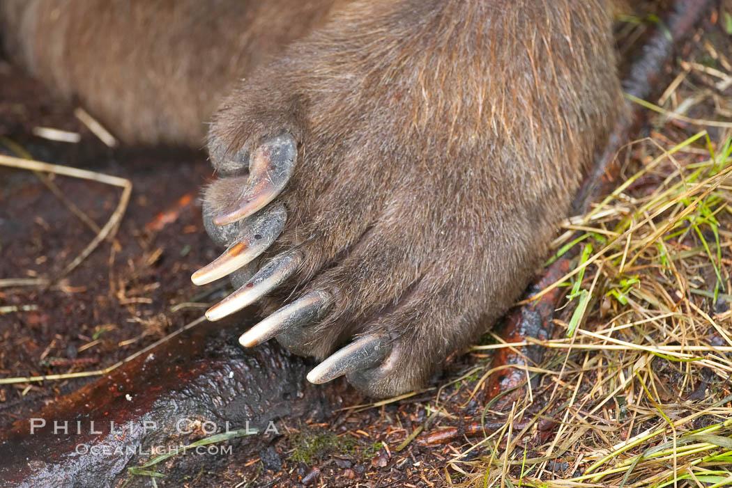 Brown bear paw and claws. Brooks River, Katmai National Park, Alaska, USA, Ursus arctos, natural history stock photograph, photo id 17103