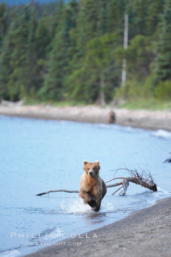 Brown bear along the edge of Brooks Lake. Brooks River, Katmai National Park, Alaska, USA, Ursus arctos, natural history stock photograph, photo id 17119
