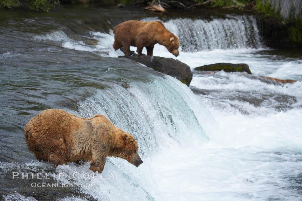 Brown bear (grizzly bear). Brooks River, Katmai National Park, Alaska, USA, Ursus arctos, natural history stock photograph, photo id 17081