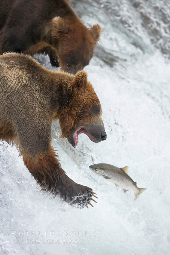Alaskan brown bear catching a jumping salmon, Brooks Falls. Brooks River, Katmai National Park, USA, Ursus arctos, natural history stock photograph, photo id 17086