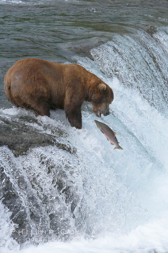 Alaskan brown bear catching a jumping salmon, Brooks Falls. Brooks River, Katmai National Park, Alaska, USA, Ursus arctos, natural history stock photograph, photo id 17154