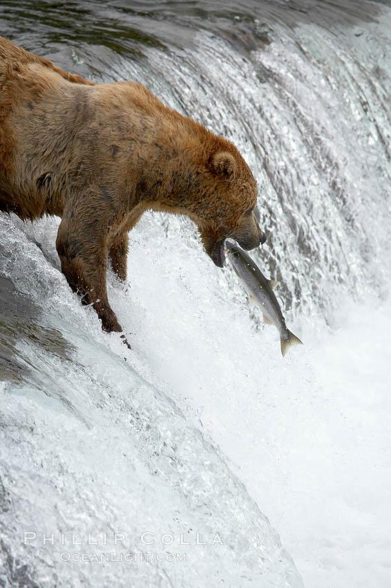 Alaskan brown bear catches a jumping salmon, Brooks Falls. Brooks River, Katmai National Park, Alaska, USA, Ursus arctos, natural history stock photograph, photo id 17250