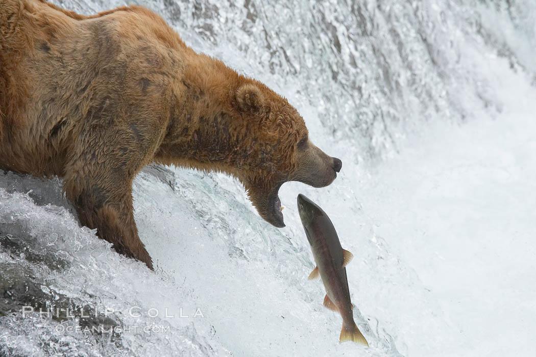 Alaskan brown bear catching a jumping salmon, Brooks Falls. Brooks River, Katmai National Park, Alaska, USA, Ursus arctos, natural history stock photograph, photo id 17088