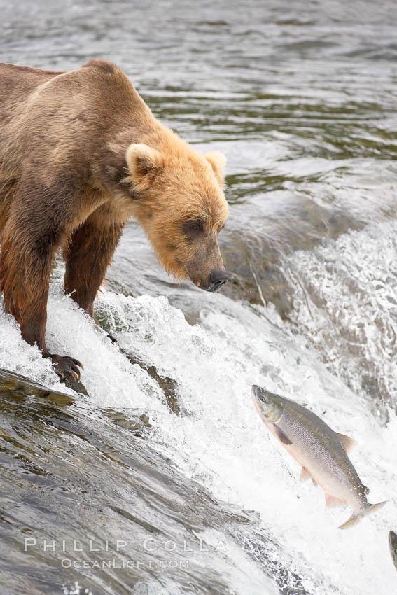 Alaskan brown bear catching a jumping salmon, Brooks Falls. Brooks River, Katmai National Park, Alaska, USA, Ursus arctos, natural history stock photograph, photo id 17152