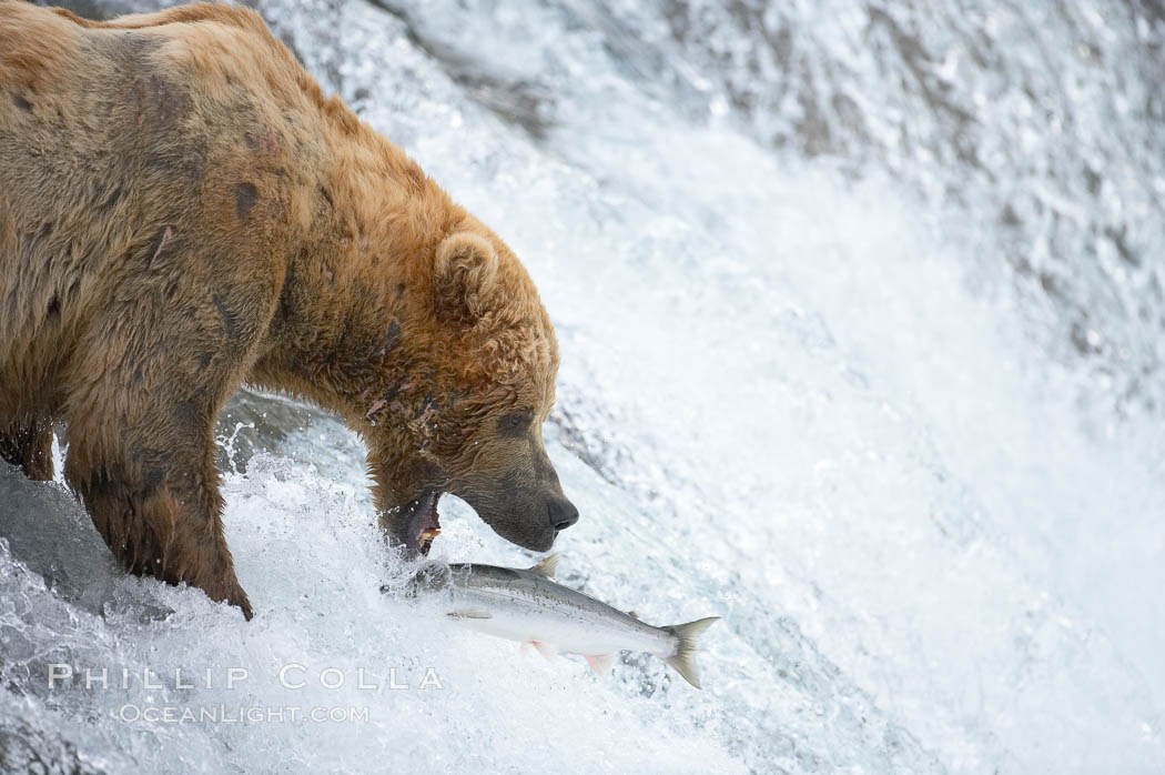 Alaskan brown bear catching a jumping salmon, Brooks Falls. Brooks River, Katmai National Park, Alaska, USA, Ursus arctos, natural history stock photograph, photo id 17188