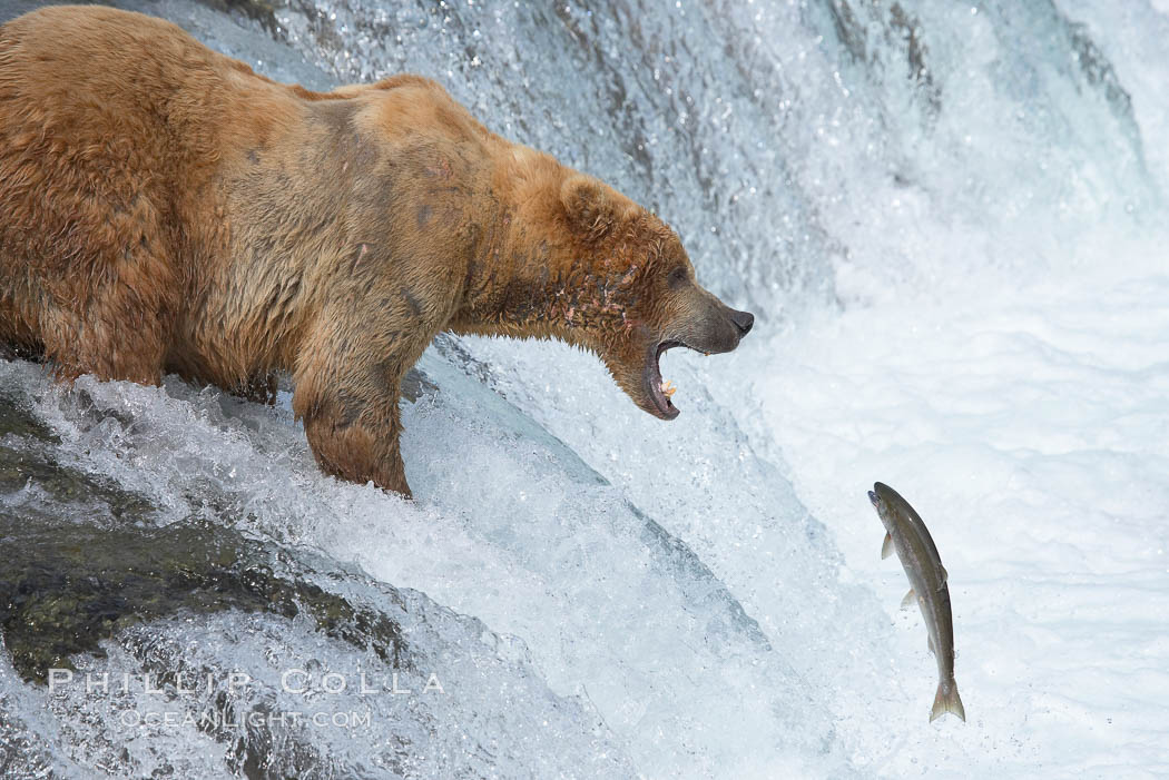 Alaskan brown bear catching a jumping salmon, Brooks Falls. Brooks River, Katmai National Park, USA, Ursus arctos, natural history stock photograph, photo id 17087