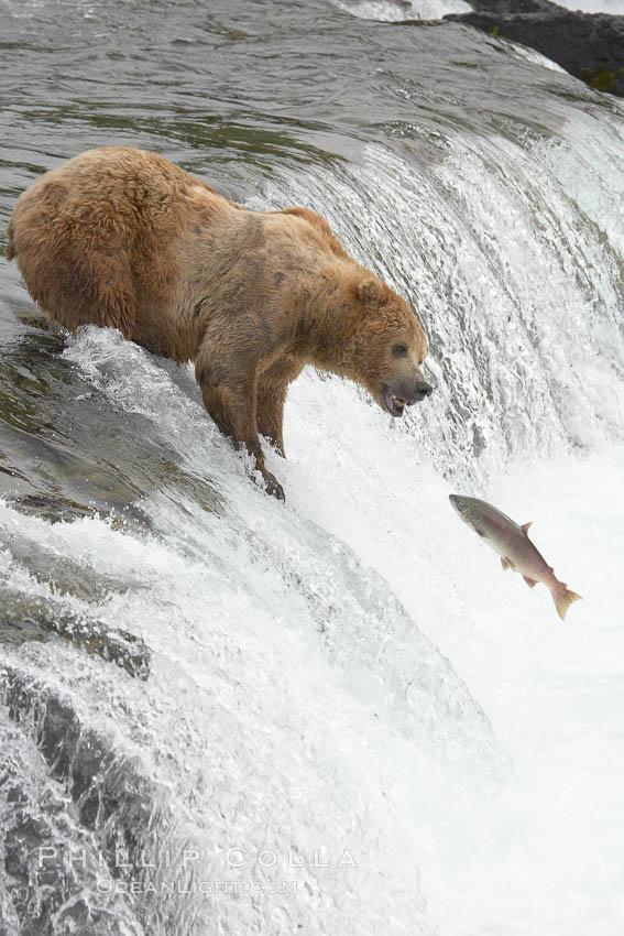 Alaskan brown bear catching a jumping salmon, Brooks Falls. Brooks River, Katmai National Park, Alaska, USA, Ursus arctos, natural history stock photograph, photo id 17091