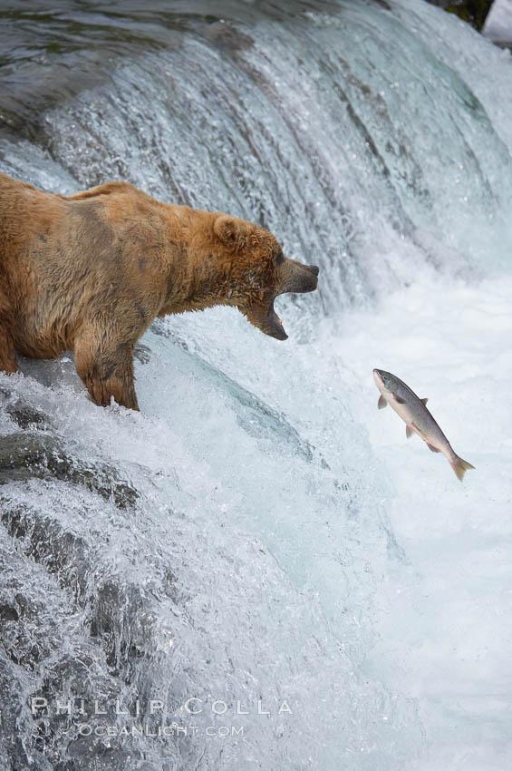 Alaskan brown bear catching a jumping salmon, Brooks Falls. Brooks River, Katmai National Park, Alaska, USA, Ursus arctos, natural history stock photograph, photo id 17187