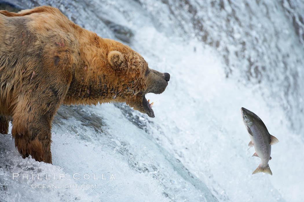 Alaskan brown bear catching a jumping salmon, Brooks Falls. Brooks River, Katmai National Park, Alaska, USA, Ursus arctos, natural history stock photograph, photo id 17089