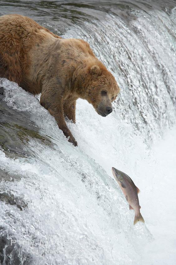 Alaskan brown bear watches a jumping salmon, Brooks Falls. Brooks River, Katmai National Park, Alaska, USA, Ursus arctos, natural history stock photograph, photo id 17161