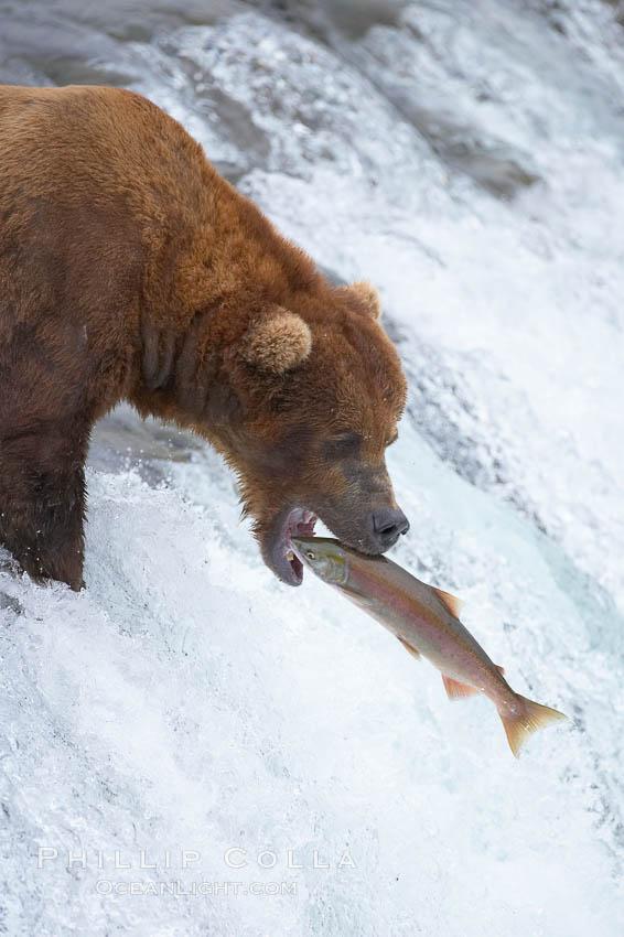 Image 17185, Alaskan brown bear catching a jumping salmon, Brooks Falls. Brooks River, Katmai National Park, Alaska, USA, Ursus arctos