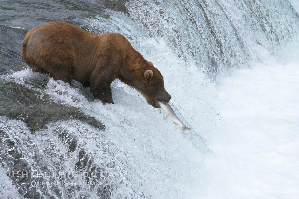 Alaskan brown bear catches a jumping salmon, Brooks Falls. Brooks River, Katmai National Park, Alaska, USA, Ursus arctos, natural history stock photograph, photo id 17249
