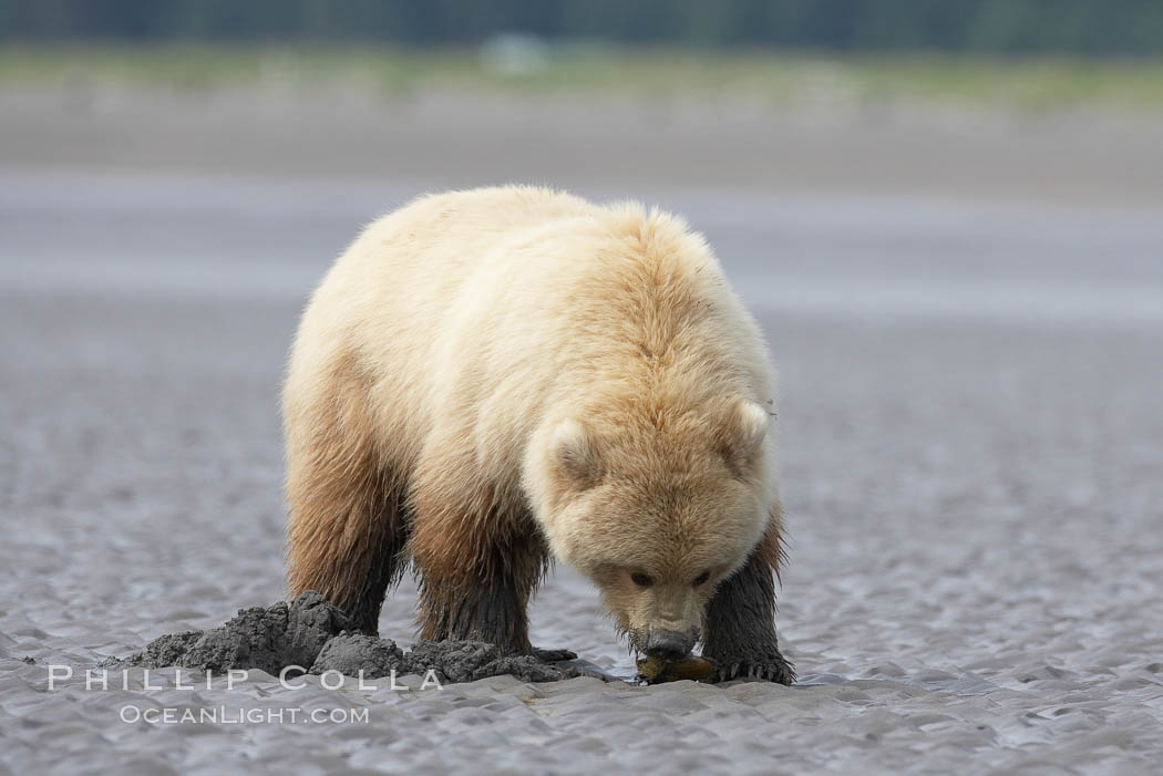 Coastal brown bear forages for razor clams on mud flats at extreme low tide. Lake Clark National Park, Alaska, USA, Ursus arctos, natural history stock photograph, photo id 19230