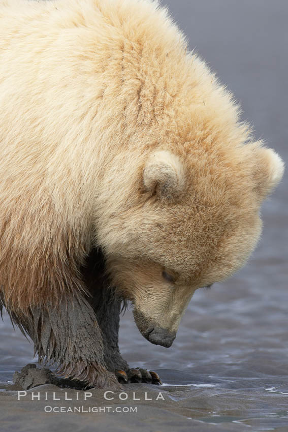 Juvenile female brown bear forages for razor clams in sand flats at extreme low tide.  Grizzly bear. Lake Clark National Park, Alaska, USA, Ursus arctos, natural history stock photograph, photo id 19208