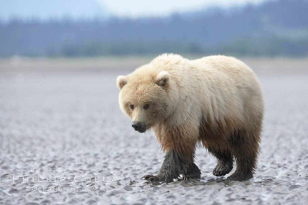 Juvenile female brown bear forages for razor clams in sand flats at extreme low tide.  Grizzly bear. Lake Clark National Park, Alaska, USA, Ursus arctos, natural history stock photograph, photo id 19255