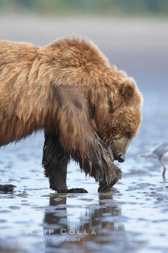 Coastal brown bear forages for razor clams on mud flats at extreme low tide. Lake Clark National Park, Alaska, USA, Ursus arctos, natural history stock photograph, photo id 19229