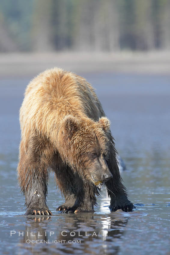 Image 19241, Coastal brown bear forages for razor clams in sand flats at extreme low tide.  Grizzly bear. Lake Clark National Park, Alaska, USA, Ursus arctos