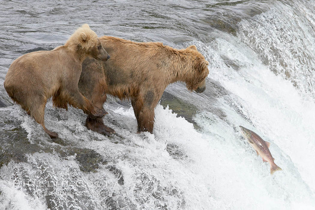 Brown bear cub learns to catch salmon by watching its mother, Brooks Falls. Brooks River, Katmai National Park, Alaska, USA, Ursus arctos, natural history stock photograph, photo id 17058