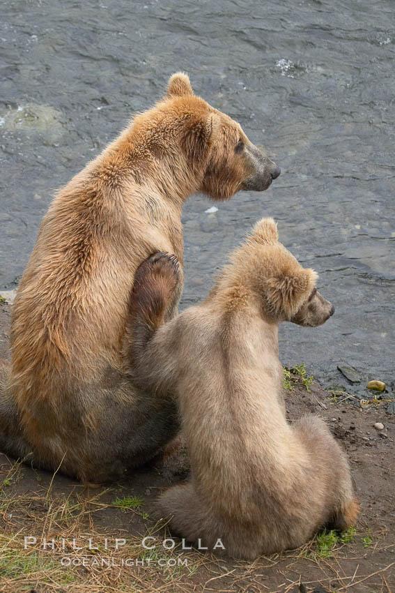 Brown bear mother and cub. Brooks River, Katmai National Park, Alaska, USA, Ursus arctos, natural history stock photograph, photo id 17110
