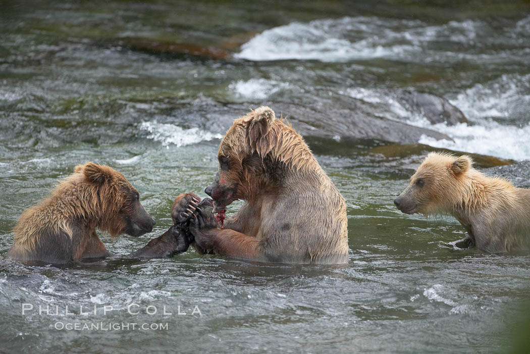 Brown bear mother feeds two of her three cubs a salmon she just caught in the Brooks River. Brooks River, Katmai National Park, Alaska, USA, Ursus arctos, natural history stock photograph, photo id 17107