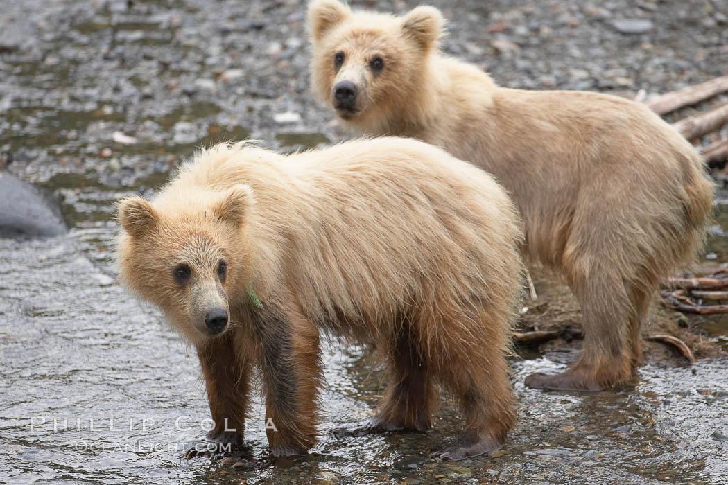 Brown bear spring cubs, a few months old. Brooks River, Katmai National Park, Alaska, USA, Ursus arctos, natural history stock photograph, photo id 17111