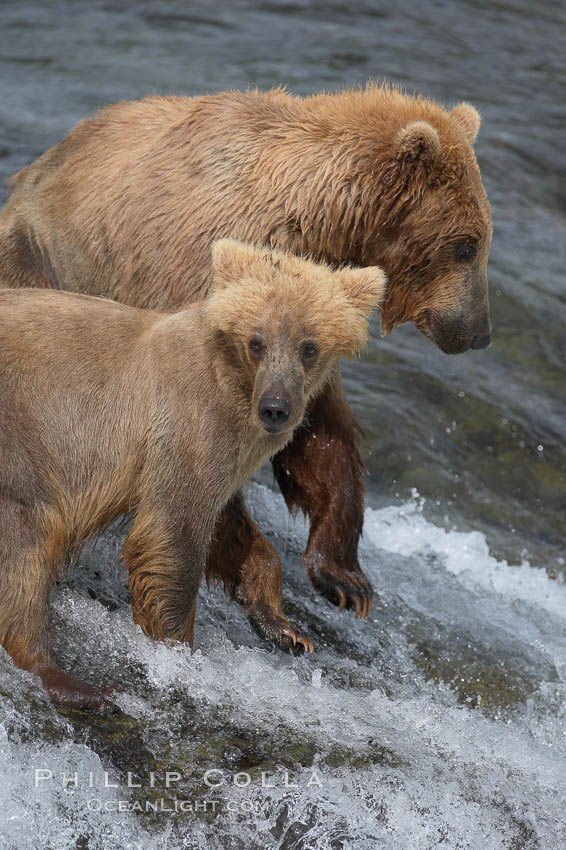Brown bear cub, standing alongside its mother as she attempts to catch salmon atop Brooks Falls, keeps a lookout for large males that may try to kill it. Brooks Falls. Brooks River, Katmai National Park, Alaska, USA, Ursus arctos, natural history stock photograph, photo id 17271