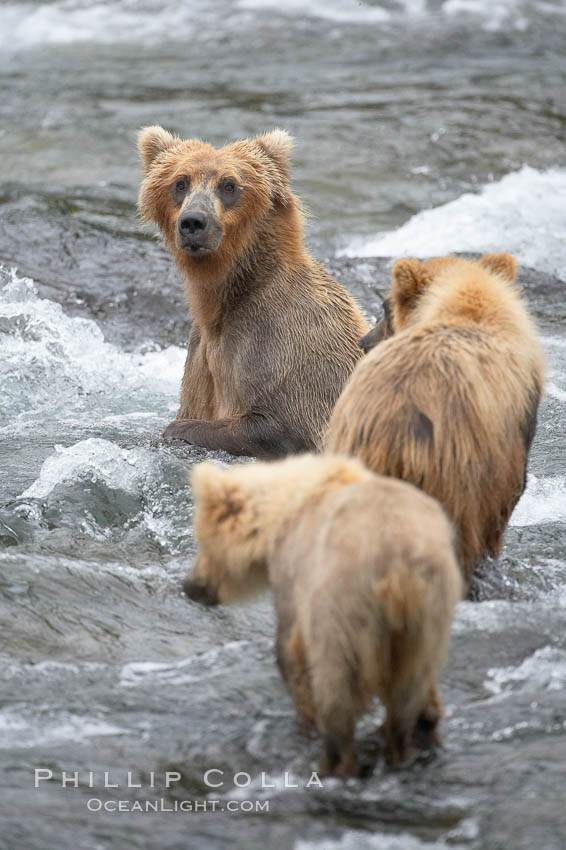 Brown bear mother watches her two spring cubs as she tries to catch salmon in the Brooks River. Brooks River, Katmai National Park, Alaska, USA, Ursus arctos, natural history stock photograph, photo id 17307
