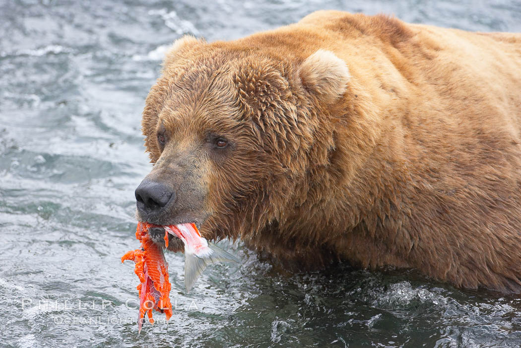 A brown bear eats a salmon it has caught in the Brooks River. Brooks River, Katmai National Park, Alaska, USA, Ursus arctos, natural history stock photograph, photo id 17202
